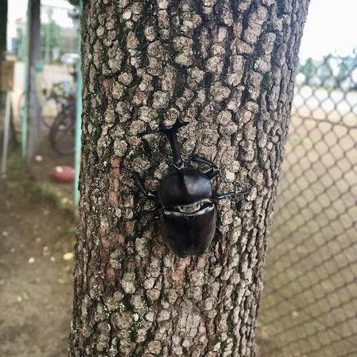 野生のカブトムシ